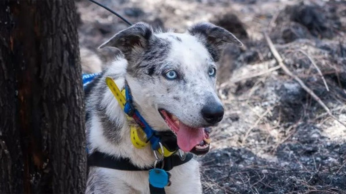 Dogs deployed to help rescue animals from wildfires devastating Australia