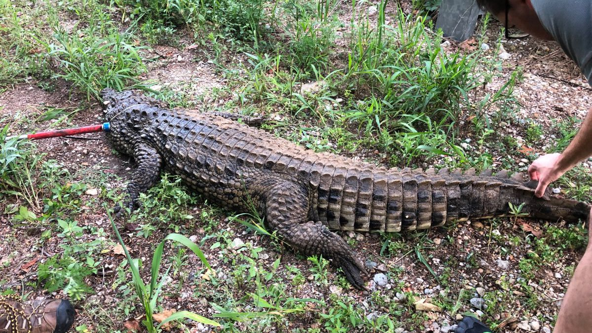 7½ foot crocodile found swimming with children in West Alexandria creek