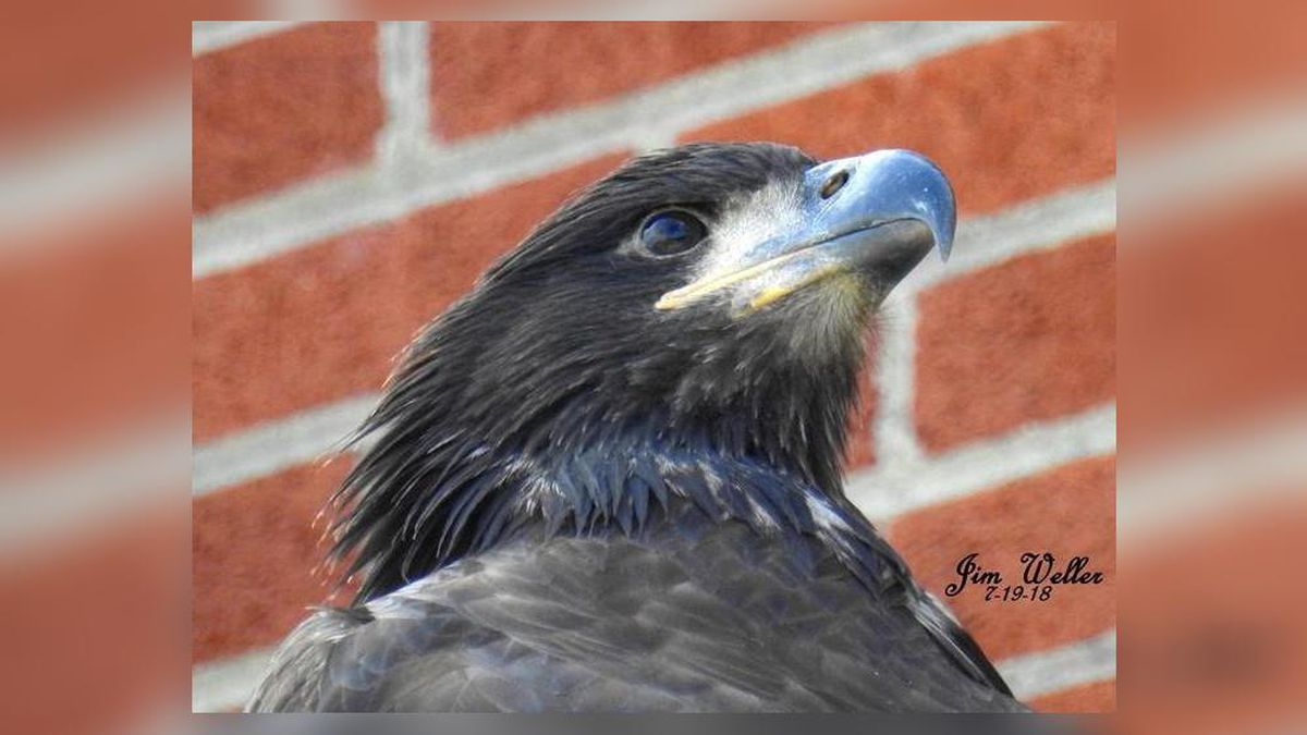 Flyer, the baby bald eagle, dies less than a week after first flight in Dayton